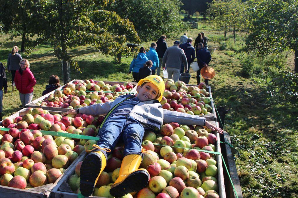 Die frisch gepflückten Äpfel